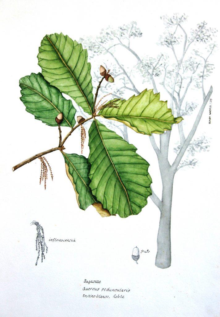 20. Quercus_peduncularis