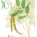 Citharexylum donnell-smithii
