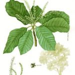 Clethra mexicana