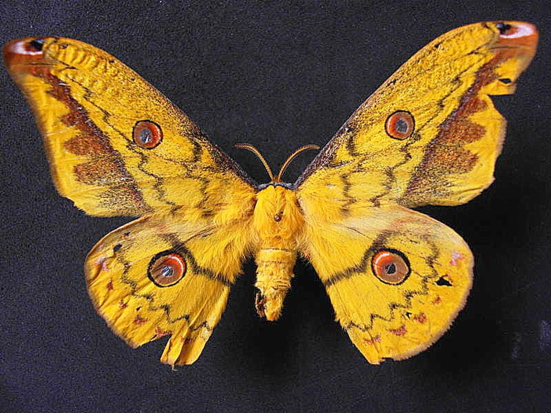 Copaxa lavandera macho vista dorsal, H. Castañeda