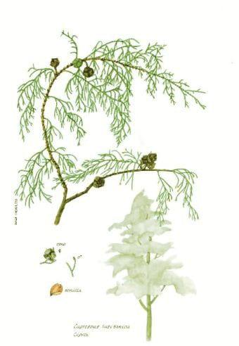 Cupressus lustrianica botanical