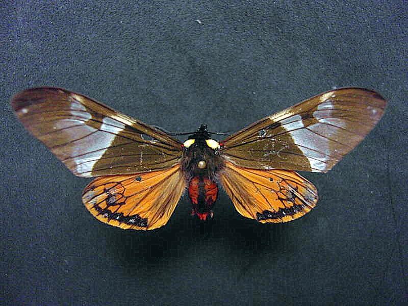 Dysshema zeladon vista dorsal, H. Castañeda