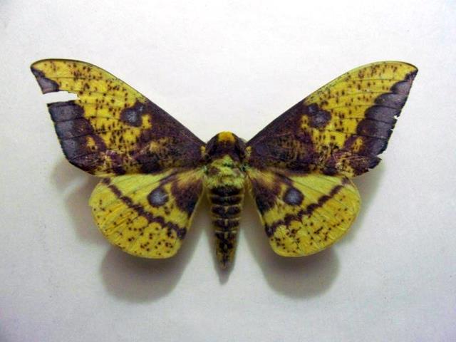 Eacles imperialis vista dorsal, H. Castañeda
