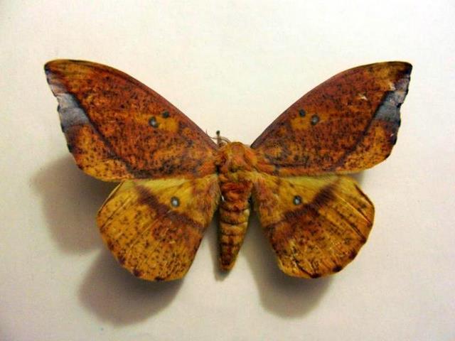 Eacles ormondei vista dorsal, H. Castañeda