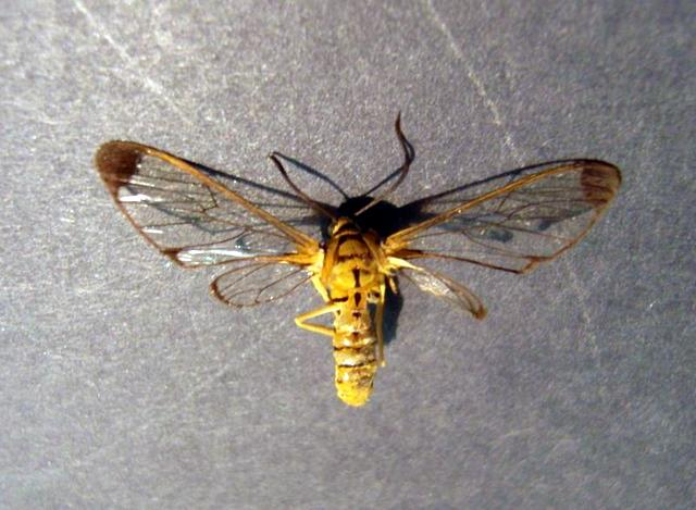 Lonomia electra vista dorsal, H. Castañeda
