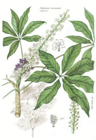 Oreopanax_xalapensis
