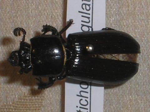 Ptichopus angulatus-Héctor Castañeda