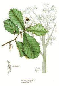 Quercus_peduncularis_2