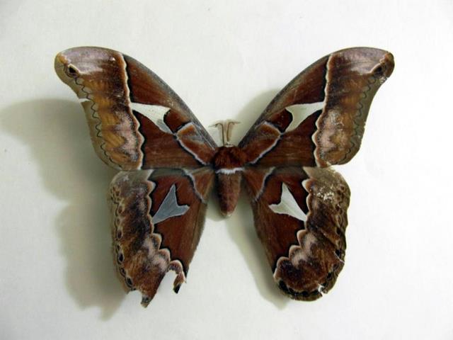 Rothschildia orizaba vista dorsal, H. Castañeda