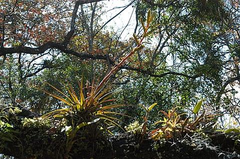 Tillandsia rodrigueziana