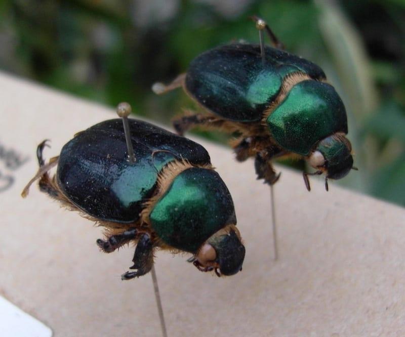 Viridimicus aurescens-Héctor Castañeda