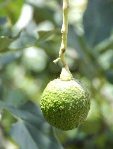 fruto, A. L. de MacVean